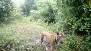 Breaking: Tiger Discovery in Thailand
