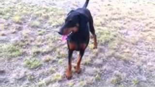 1 Year Old Doberman Pup Full Ears And Tail