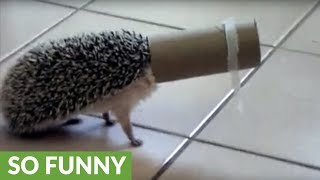 Hedgehog gets head stuck in toilet paper roll