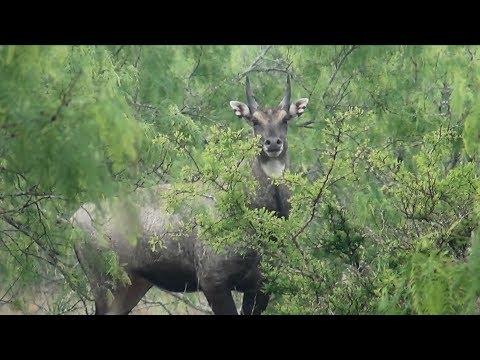South Texas Nilgai Hunting 2019 (King Ranch)