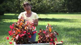 Begonia Uses for a Garden : Begonias