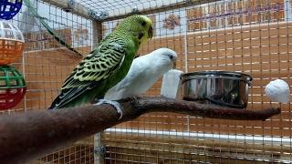 видео клетки для попугаев