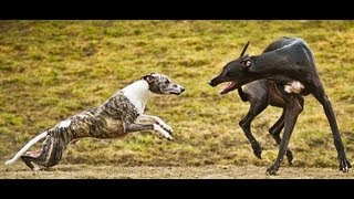 Whippet and Greyhound playing