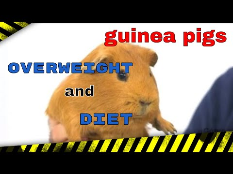 GUINEA PIGS - Overweight And Diet On Guinea Pigs
