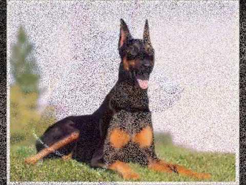 Кавказская овчарка характеристика породы собак, фото