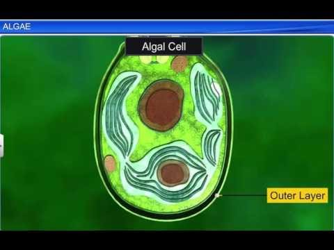 CBSE Class 11 Biology, Plant Kingdom – 1, Algae