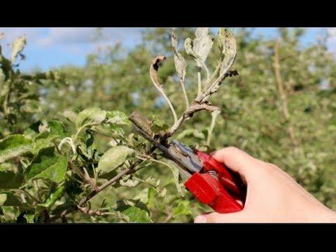 Березовый деготь - защита от вредителей без капли химии