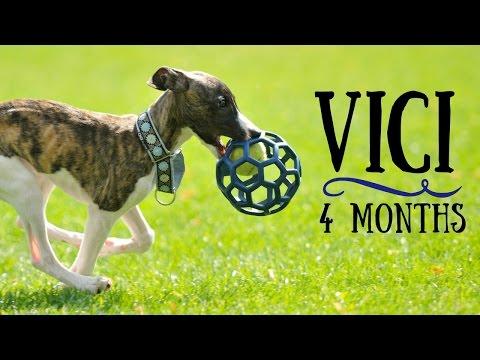 Vici - 4 months Whippet puppy! Tricks & fun :)