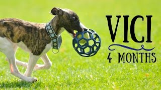 Vici - 4 months Whippet puppy! Tricks & fun :)