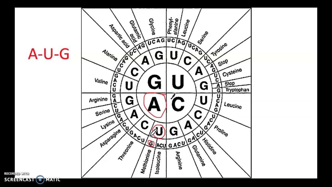 den genetiska koden
