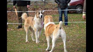 ГРУЗИНСКИЕ ГОРНЫЕ СОБАКИ, КТО ОНИ? GEORGIAN MOUNTAIN DOGS, WHO ARE THEY?