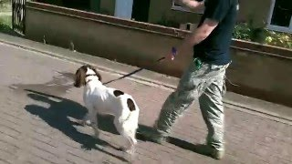 Oscar - Week 3 Springer Spaniel Dog Training