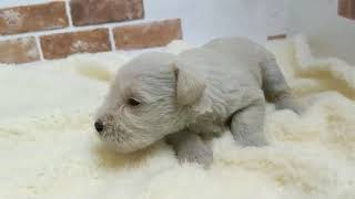 https://www.breeder-navi.jp/dog/69742 子犬販売ならブリーダーナビ ...
