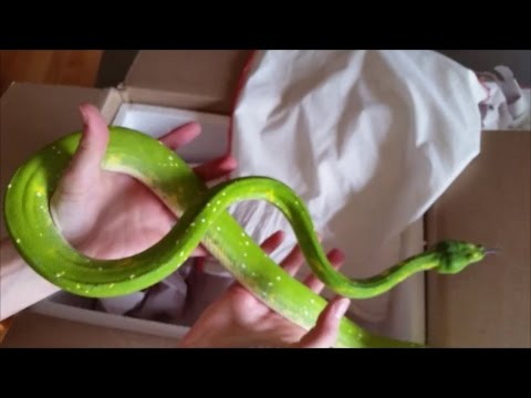 Unboxing Green Tree Pythons!