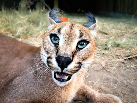 Moholoholo Rehab Centre |  Meet A Feisty Lynx In Africa