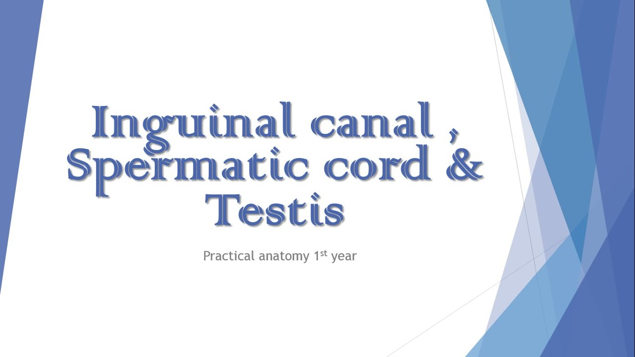 Inguinal canal , spermatic cord & testis : Practical anatomy 1st ...