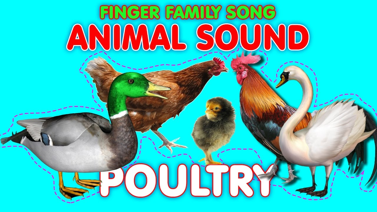 Animal Sounds Finger Family Poultry: Duck, Rooster, Swan, Hen, Chick //  ChildrenSongs Guera