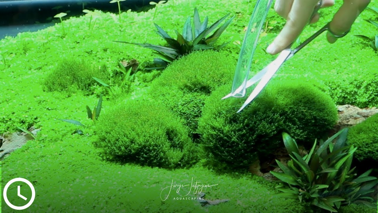 the ultimative AQUARIUM MOSS TRIMMING technique - YouTube