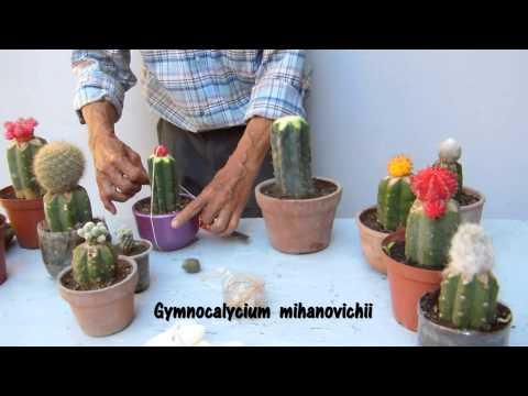 Como injertar cactus   4