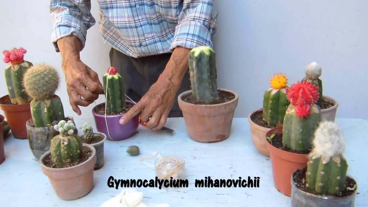 Como injertar cactus 4 youtube for Pasos para elaborar un vivero