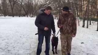 Дрессировка щенка Кане Корсо (занятие 2). Воспитание и послушание