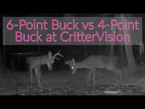 6-Point Buck vs 4-Point Buck at CritterVision!