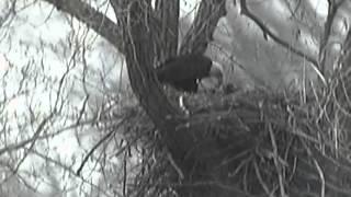 Decorah Eagles, 2013-05-04, 2.00pm, Watching, shennanigans, big stick