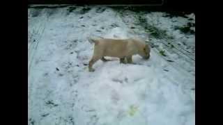 Labrador Retriever Puppy . 2 Month (name - Bugi )