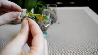 Детки орхидей . Растут корешки).(, 2016-10-12T17:32:13.000Z)