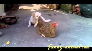 White dog humping brown hen 小白狗乱性, 硬上黄母鸡