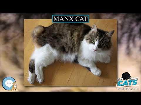 Manx cat 🐱🦁🐯 EVERYTHING CATS 🐯🦁🐱
