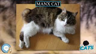 Manx cat  EVERYTHING CATS
