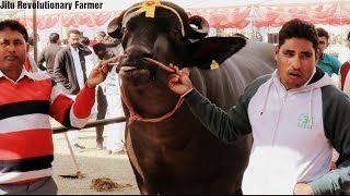 Sartaj Bull(सरताज झोटा) अगला उभरता हुआ झोटा ।उम्र 3 साल 2 महीने Addres:Sainipura,Gohana,Sonipat.