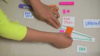 〔生物〕DNAの半保存的複製を簡単に文房具を使って高校生が説明してみた