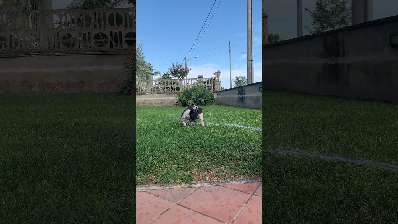 Bulldog vs water