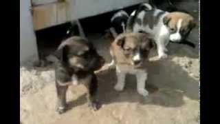 عالم الحيوان..كلاب صغيره جدا