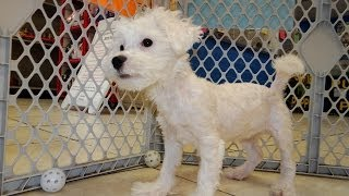 Bichon Frise, Puppies, For, Sale, In, Southaven, Mississippi, County, Ms, Meridian, Biloxi, Hattiesb
