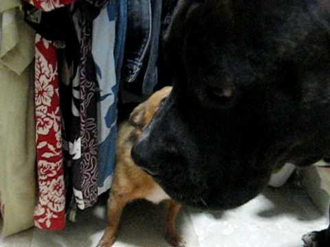 Mean Chihuahua vs. Sweet  Pitbull