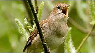 Burung sikatan londo Gacor Untuk Masteran Durasi Panjang HD