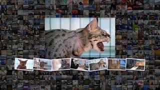 Кошки с разными глазами турецкие ваны оказались под угрозой исчезновения