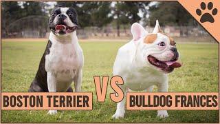 Boston Terrier vs Bulldog Fancés  ¿Qué raza de perro es mejor? | Perros Mundo