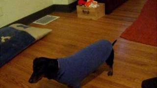 Margo The Dachshund And Her Magic Sweater!