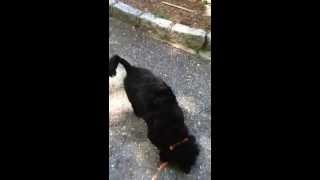 Lily- Almost 6yo...dachshund Poodle Mix