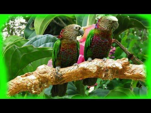 Red-fan parrot (Deroptyus accipitrinus) voice, flirting