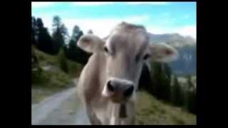 Funny Cow Talking