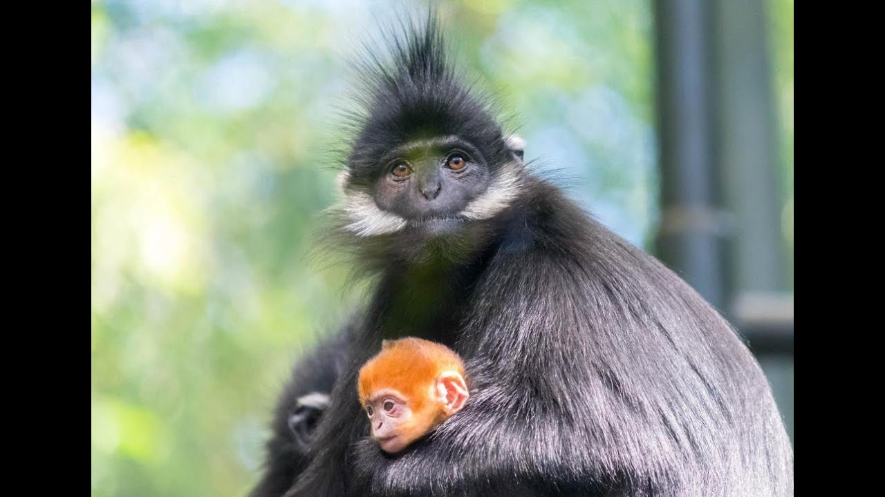 Baby Redhead Monkey Meets Family At The San Diego Zoo