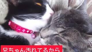 【子猫の成長記録】リンちゃんが兄ちゃんをひたすら舐める(笑)(Licking my brother)
