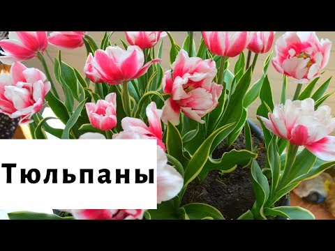 Тюльпаны. Лучшие сорта для весеннего фейерверка!