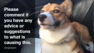 Corgi Breathing Oddly, Advice Requested