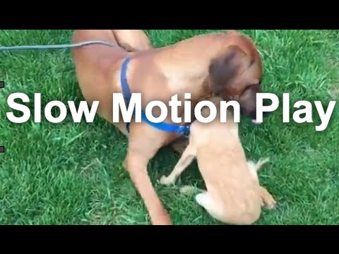 Slow-Motion Dog Play & Interaction: Bean and Koa | Grisha Stewart